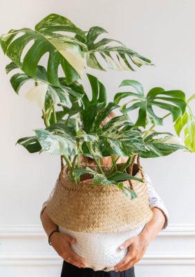 Label Experience: Grande plante tropicale dans un joli panier en osier de la « Maison Bergamotte » à Paris.
